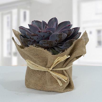 Purple Echeveria Jute Wrapped Plant