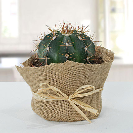 Amazing Cactus With Jute Wrapped Pot