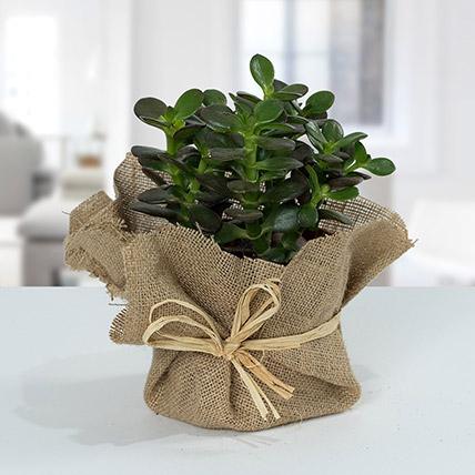 Crassula Minor With Jute Wrapped Pot