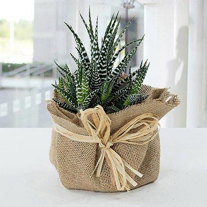Jute Wrapped Howarthia Plant