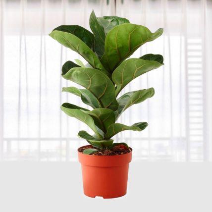 Ficus Iyrata