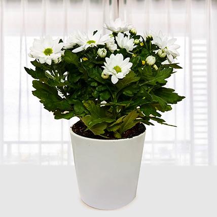 White Chrysanthemum Plant