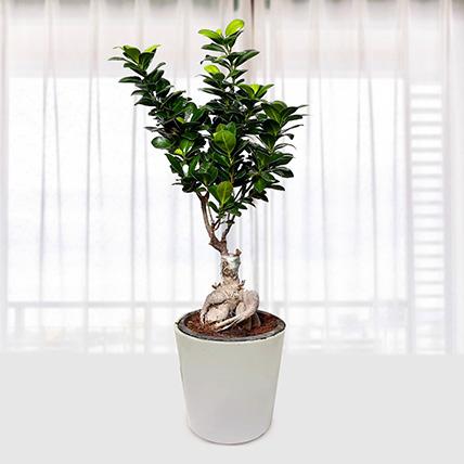 Ficus Bonsai Plant In Ceramic Pot