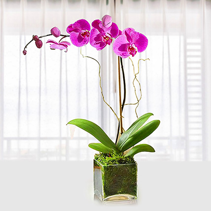 Purple Orchid Plant In Glass Vase