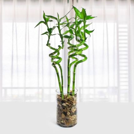 Lucky Bamboo with Glass Vase