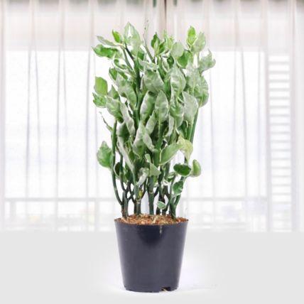 Pedilanthus Tithy Mystery Plant