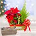 Red Poinsettia & Cupressus Plant Combo