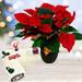 Red Poinsettia Plant with Vanilla Cake