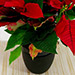 Red Poinsettia Plant In Black Pot