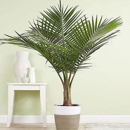 Majesty Palm Floor Plant